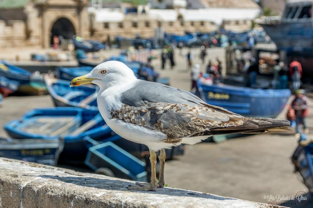 Mouette à Essaouira
